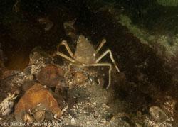 BD-100417-Lysekil-4175041-Hyas-coarctatus.-Leach.-1816-[Contracted-crab.-Maskeringskrabba].jpg